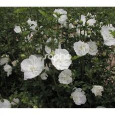 Hibiscus syriacius  White Chiffon