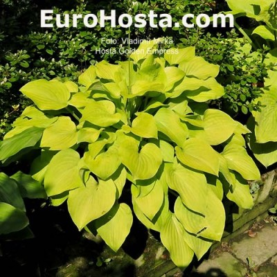 Hosta Golden Empress