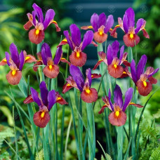 Iris beaty