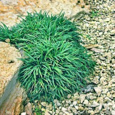 "Ophiopogon japonicus ""Nana"""
