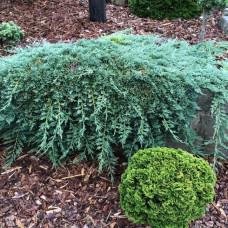 """Juniperus """"Ice Blue"""""""