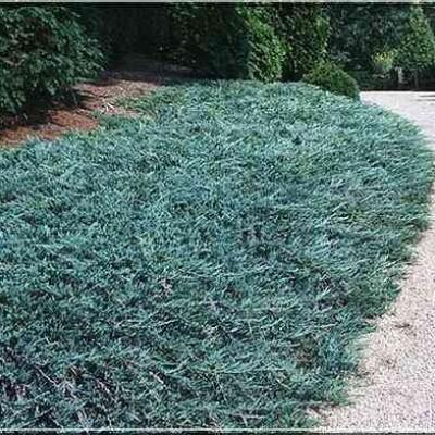 Juniperus horizontalis Douglasii