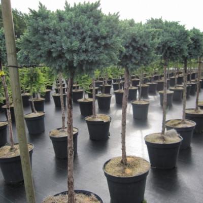 """Juniperus squamata """"Blue star"""" kalem na 80 cm."""