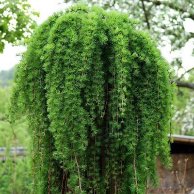 Larix na stapu od 1.5m