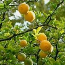 Citrus meyer