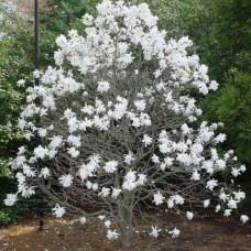 Magnolia Stellata - Zvezdasta Magnolia