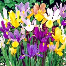 Holandski iris - mix
