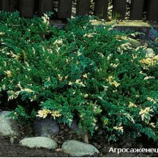 Juniperus sabina variegata