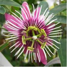 """Passiflora violacela """"Victoria"""""""