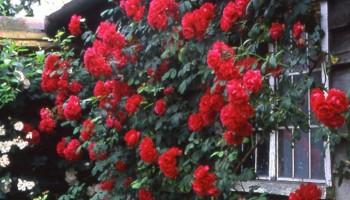 Ruže - nemamo na stanju