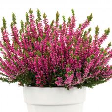 Calluna pink