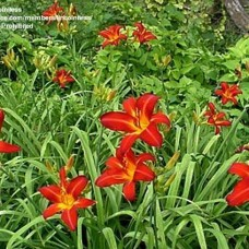 "HEMEROCALLIS ""CHERRY POINT"""