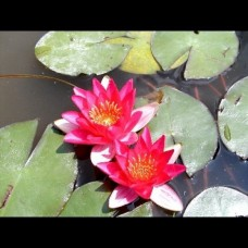 """Nymphaea Pygmaea """" Red"""""""