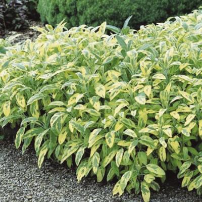 """Salvia officinalis """"icterina"""""""
