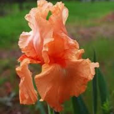 Iris narandzast