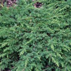 """Juniperus communis """"Green Carpet"""""""