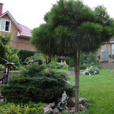 """Pinus nigra """"Bambino"""""""