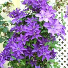 "Clematis ""Mr. President"""