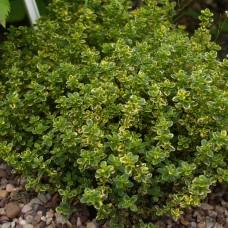Thymus x citriodorus variegatus