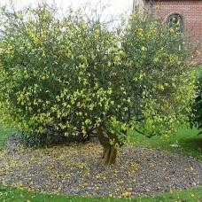 Poncirus trifoliata -Sibirski limun