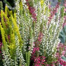 Calluna vulgaris tricolor