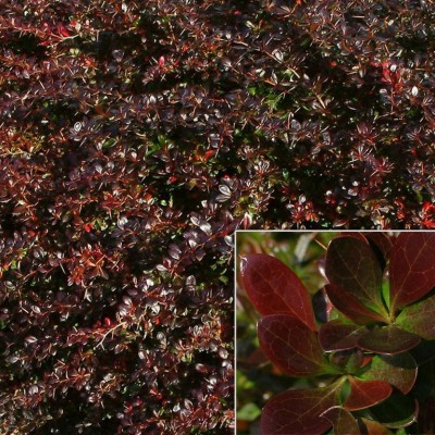 "BERBERIS MEDIA ""RED JEWEL"""