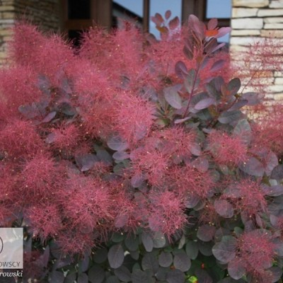 "COTINUS COGGYGRIA ""ROYAL PURPLE"""