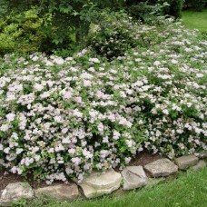"SPIRAEA BUMALDA ""LITTLE PRINCESS"""