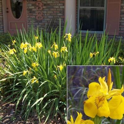 Iris pseudocarus
