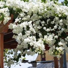 Bougainvillea -white